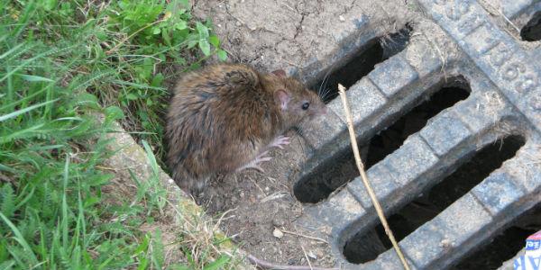 ratas-alcantarillas-barcelona